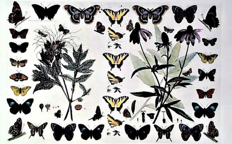 JEAN MADDISON -- NATURAL HISTORY BUTTERFLIES
